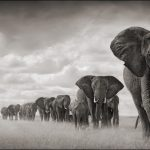 Nick Brandt, Elephant Walking Through Grass, Amboseli, 2008, archival pigment print, 40 in. x 73 in., edition of 8. ©Nick Brandt, Courtesy of the Artist and Hasted Kraeutler, NYC