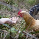 Chickens in the Organic Garden provide fresh eggs for the local community.
