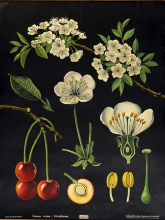 One of the botanical wall charts from the College's collection