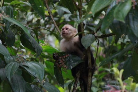 One of the white-faced capuchin monkeys Russell spotted on her trip