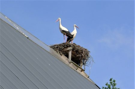 Storks nesting on buildings in the town of Rustadt, Germany.