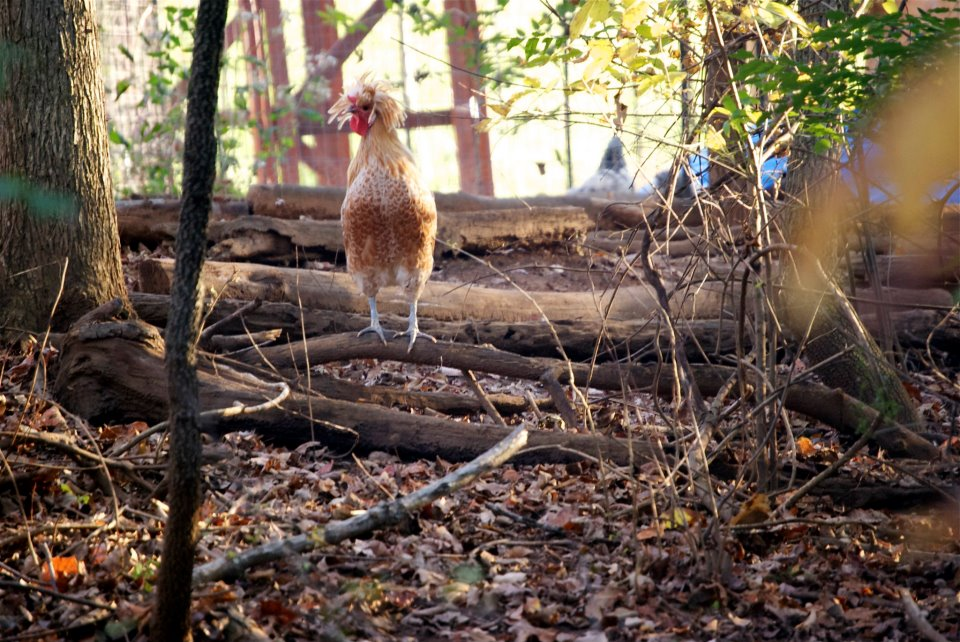 Einstein the rooster at the organic garden