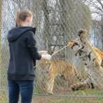 tiger feeding