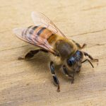 Close-up photo of a honeybee