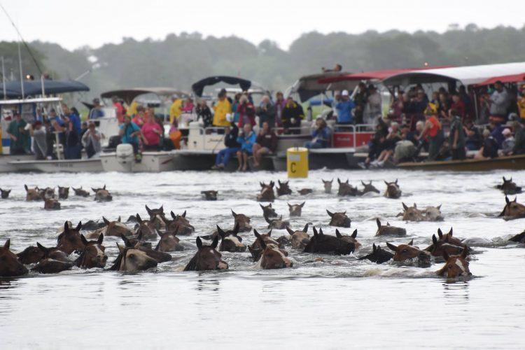 Chincoteague Island Pony Swim (photo by James Hoskins)