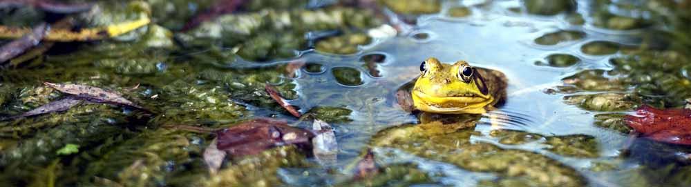banner_frog